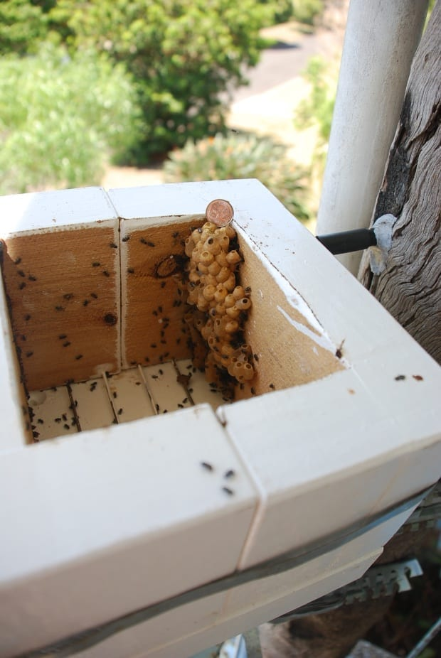Bees Australis is the large variety, building honey and pollen pots