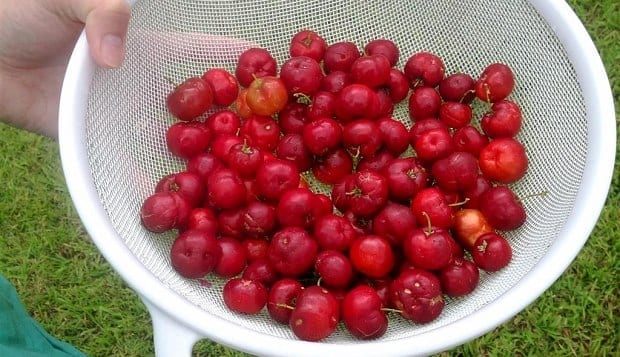 Barbados Cherry (Acerola) in container just picked