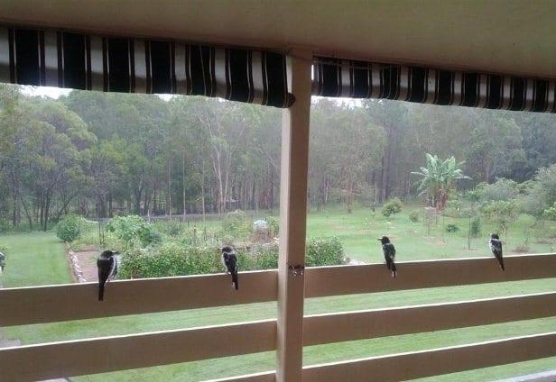 Butcher birds getting out of rain overlooking vegetable garden