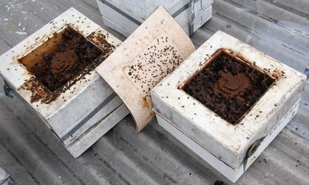 Carbonarias bees split hive makes two broods propagate success