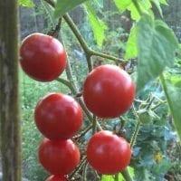 Truss Cherry Tomatoes