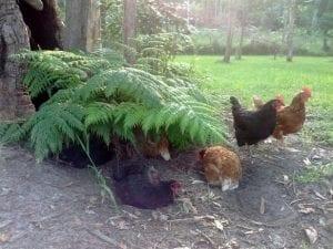 Chickens under ferns
