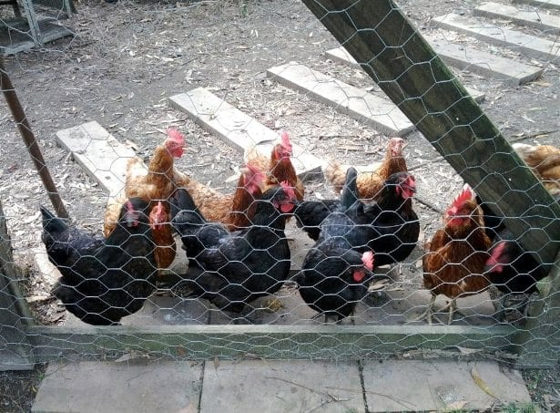 Chickens waiting to be let out