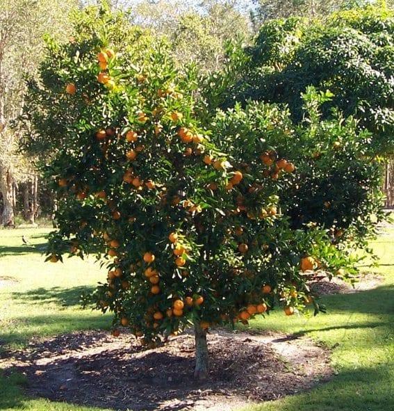Mandarin Tree at home