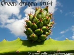 Green dragon fruit on stem