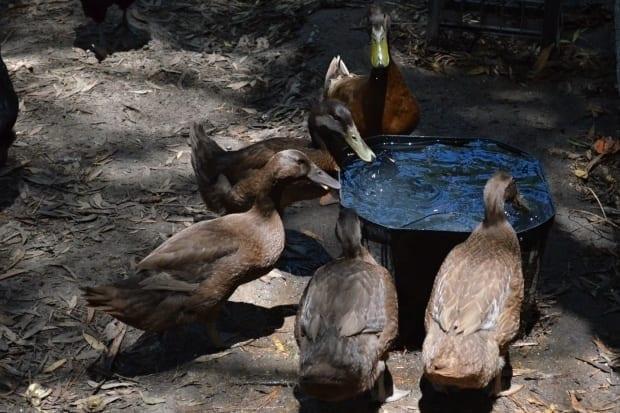 Ducks drinking from large bucket drinker