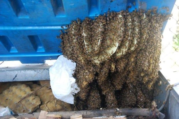 European honey Bees in industrial bin
