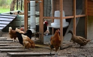 Feeders chicken PVC feeder tube hens ducks different feeders