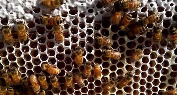 Flow hive frame honeycomb