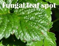 Fungal leaf spot on strawberry plant