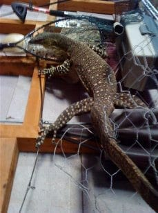 Goanna up wall in my shed