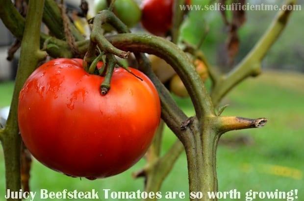 Juicy beefsteak tomato