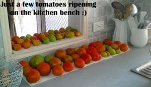 some large variety tomatoes on bench grown in subtropical climate