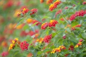 Lantana a noxious weed in Queensland Australia