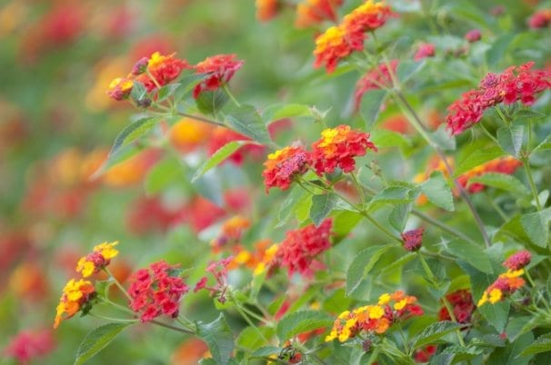 Lantana a noxious weed in Queensland Australia
