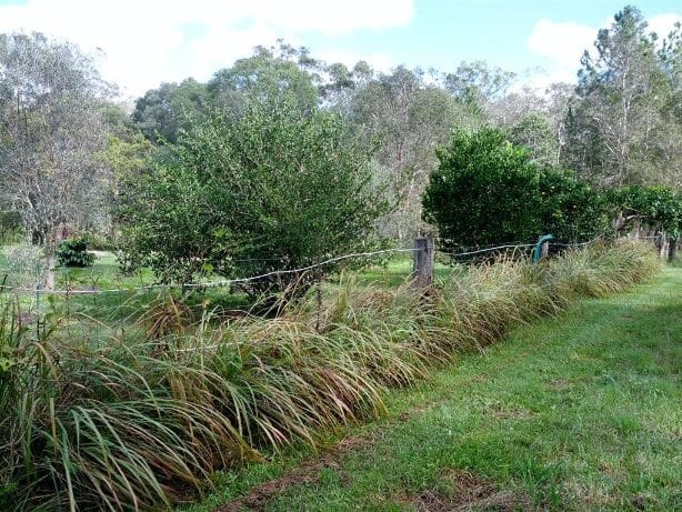 Lemongrass grow along fence line to suppress weeds
