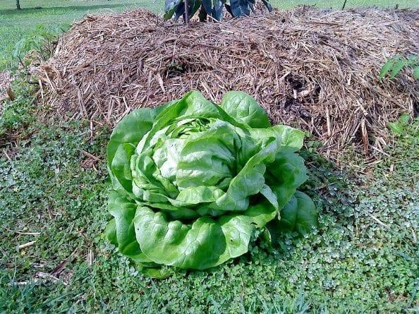 Buttercrunch Lettuce Self Sown