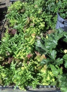 Lettuce Loose Leaf Mixed