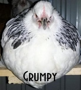 Grumpy hen on perch nesting box