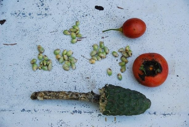 Monstera Fruit