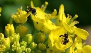 Native bees on bok choy flowers close yellow