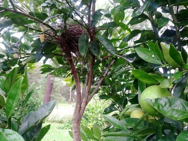 Birds nest orange tree