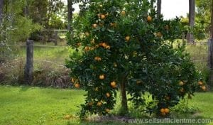 Valencia orange tree thriving
