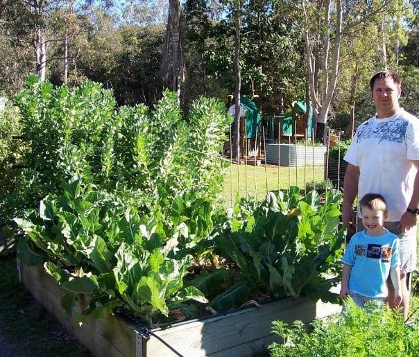 Cauliflower crop in simple backyard raised bed