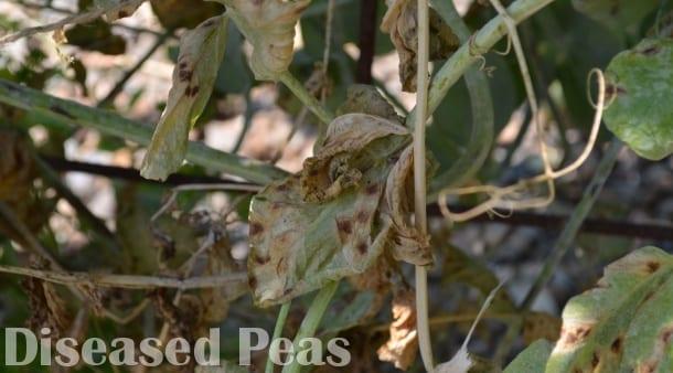 Fungal Disease on peas