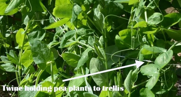 Twine holding pea plants to trellis