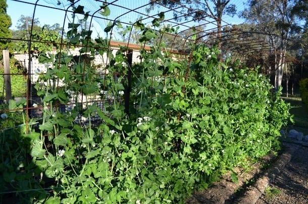 Peas growing on trellis in vegetable garden