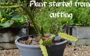 Potted dragon fruit from cutting