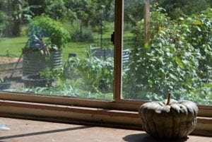 pumpkin in shed window curing with vegetable garden in background