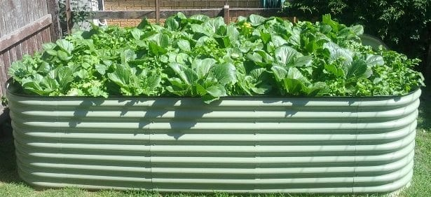 Raised colorbond vegetable bed full with salad vegetables
