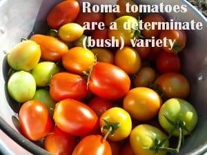 roma tomatoes determinate bush variety