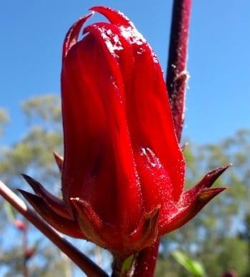 rosella calyx