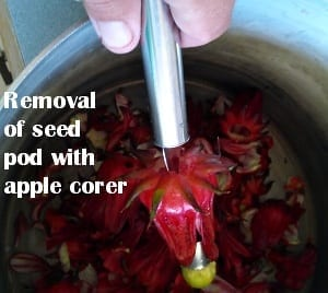 Rosella removal of seed pod from calyx