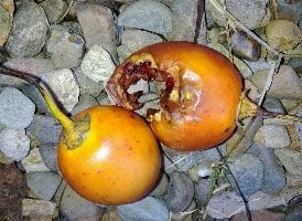 Rotting fruits no good for chickens