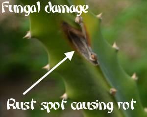 Fungal damage on dragon fruit stem