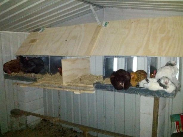 Standard nesting box setup chickens roosting at night
