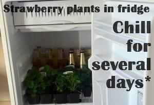 strawberry plants in fridge