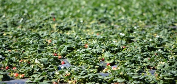 strawberry farm crop