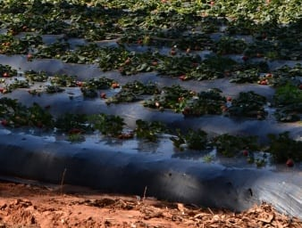 strawberry farm growing in raised rows on plastic sheeting