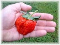 strawberry in the hand
