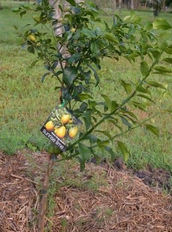 Sunrise lime tree developed by CSIRO Australia