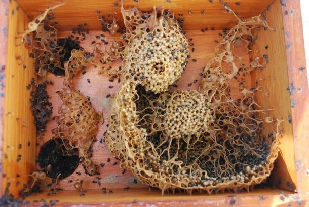 Symei bees have open showing brood