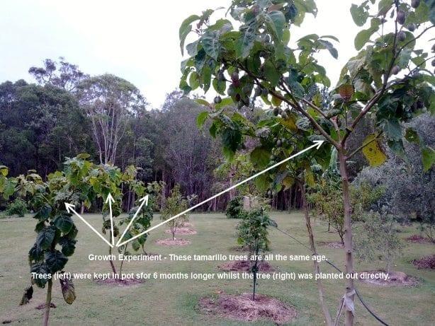 Tamarillo Trees