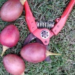 Tamarillo fruit just picked