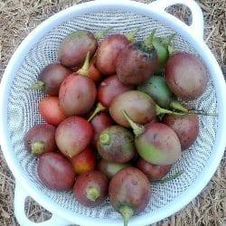 Tamarillo Harvest