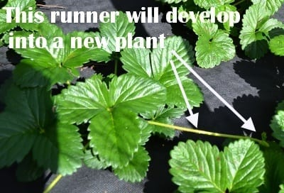 Strawberry runner in very early stage